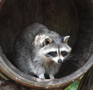 How Dangerous Are Raccoon Roundworms?